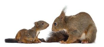 Κόκκινοι σκίουρος και μωρά μητέρων στοκ εικόνα