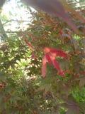 Κόκκινοι σπόροι ελικοπτέρων Στοκ φωτογραφία με δικαίωμα ελεύθερης χρήσης