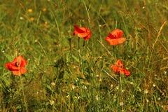 Κόκκινοι σπόροι παπαρουνών Στοκ εικόνες με δικαίωμα ελεύθερης χρήσης