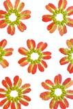 Κόκκινοι σπόροι σφενδάμνου Στοκ φωτογραφίες με δικαίωμα ελεύθερης χρήσης