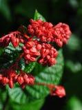 κόκκινοι σπόροι Στοκ Φωτογραφίες