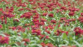 Κόκκινοι τομείς λουλουδιών απόθεμα βίντεο