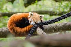 Κόκκινοι υπνάκοι της Panda στοκ φωτογραφία με δικαίωμα ελεύθερης χρήσης