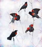 Κόκκινοι φτερωτοί κότσυφες Στοκ Εικόνες