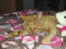 Κόκκινοι ύπνοι γατών που στο κρεβάτι στοκ εικόνα