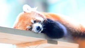 Κόκκινοι ύπνοι panda απόθεμα βίντεο