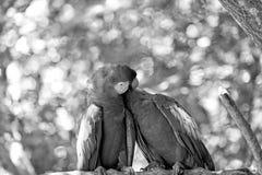 Κόκκινοι ara ή macaw παπαγάλοι στο πράσινο φυσικό υπόβαθρο Στοκ εικόνα με δικαίωμα ελεύθερης χρήσης