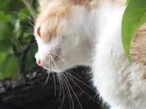 Κόκκινος-άσπρη γάτα με το ραντάρ γατακιών στοκ φωτογραφίες