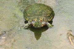 Κόκκινος-έχουσα νώτα χελώνα Στοκ Εικόνα