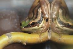 Κόκκινος-έχων νώτα βάτραχος Στοκ Εικόνες