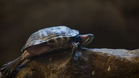 Κόκκινος-έχων νώτα ολισθαίνων ρυθμιστής η χελώνα φιλμ μικρού μήκους