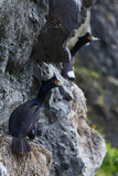 Κόκκινος-αντιμέτωπη urile συνεδρίαση Phalacrocorax κορμοράνων στη φωλιά στον απότομο βράχο Στοκ Φωτογραφία