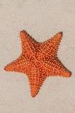 Κόκκινος αστερίας μαξιλαριών στην άσπρη άμμο στην ηλιόλουστη Κούβα Στοκ Φωτογραφία