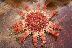 Κόκκινος αστερίας Brigh Στοκ Εικόνα
