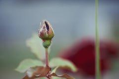 Κόκκινος αυξήθηκε άνθος με τα aphids Στοκ φωτογραφία με δικαίωμα ελεύθερης χρήσης