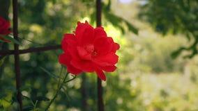 Κόκκινος αυξήθηκε ανθίζοντας στον κήπο Ενιαίος κόκκινος αυξήθηκε ανθίζοντας στο καλοκαίρι, κλείνει επάνω Λουλούδι με τα κόκκινα π απόθεμα βίντεο