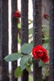 Κόκκινος αυξήθηκε βλαστημένος μέσω ενός φράκτη Στοκ εικόνες με δικαίωμα ελεύθερης χρήσης