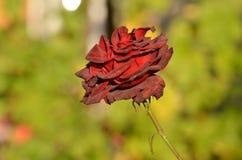 κόκκινος αυξήθηκε ενιαίος Στοκ εικόνα με δικαίωμα ελεύθερης χρήσης