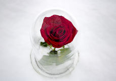 Κόκκινος αυξήθηκε κάτω από το γυαλί Στοκ εικόνα με δικαίωμα ελεύθερης χρήσης