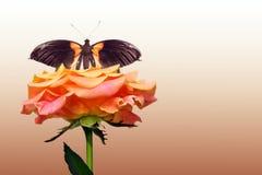 Κόκκινος αυξήθηκε και πεταλούδα Στοκ φωτογραφία με δικαίωμα ελεύθερης χρήσης