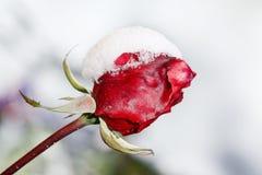 Κόκκινος αυξήθηκε καλυμμένος με το χιόνι Στοκ φωτογραφία με δικαίωμα ελεύθερης χρήσης