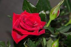 Κόκκινος αυξήθηκε λουλούδι, πράσινο φυτό κλάδων, σκούρο πράσινο υπόβαθρο φύλλων Στοκ φωτογραφία με δικαίωμα ελεύθερης χρήσης