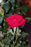 Κόκκινος αυξήθηκε λουλούδι, πράσινο φυτό κλάδων, σκούρο πράσινο υπόβαθρο φύλλων Στοκ Εικόνες
