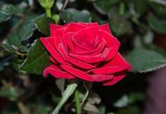 Κόκκινος αυξήθηκε λουλούδι, πράσινο φυτό κλάδων, σκούρο πράσινο υπόβαθρο φύλλων Στοκ Φωτογραφία
