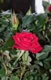 Κόκκινος αυξήθηκε λουλούδι, πράσινο φυτό κλάδων, σκούρο πράσινο υπόβαθρο φύλλων Στοκ εικόνες με δικαίωμα ελεύθερης χρήσης