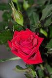 Κόκκινος αυξήθηκε λουλούδι, πράσινο φυτό κλάδων, σκούρο πράσινο φύλλα backgroun Στοκ Φωτογραφία