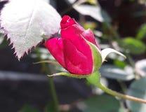 Κόκκινος αυξήθηκε λουλούδι στην αρχική φάση ζωής στοκ εικόνα