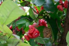 Κόκκινος αυξήθηκε μήλα Στοκ Εικόνα