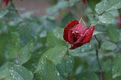 Κόκκινος αυξήθηκε μετά από την κινηματογράφηση σε πρώτο πλάνο βροχής Στοκ Εικόνα