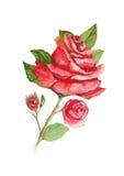 Κόκκινος αυξήθηκε με τη ζωγραφική watercolor οφθαλμών στο άσπρο υπόβαθρο Στοκ Εικόνες
