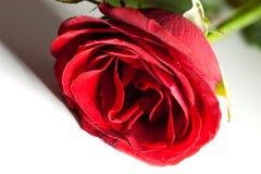 Κόκκινος αυξήθηκε με τη σκιά Στοκ Φωτογραφία