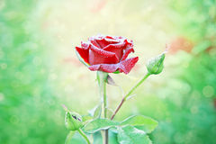 Κόκκινος αυξήθηκε με τις πτώσεις νερού στον κήπο μου Στοκ φωτογραφίες με δικαίωμα ελεύθερης χρήσης