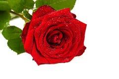 Κόκκινος αυξήθηκε με τις πτώσεις της δροσιάς σε ένα λευκό Στοκ φωτογραφία με δικαίωμα ελεύθερης χρήσης