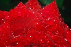 Κόκκινος αυξήθηκε με τις σταγόνες βροχής να βρεθεί φύλλων Στοκ Φωτογραφία