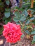 Κόκκινος αυξήθηκε λουλούδι και φύλλο Στοκ εικόνα με δικαίωμα ελεύθερης χρήσης
