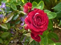 Κόκκινος αυξήθηκε λουλούδι στον κήπο που καλύφθηκε από τις πτώσεις νερού Στοκ φωτογραφία με δικαίωμα ελεύθερης χρήσης