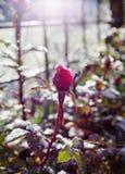 Κόκκινος αυξήθηκε λουλούδι στον κήπο στοκ εικόνες