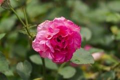 Κόκκινος αυξήθηκε λουλούδι Στοκ Εικόνα
