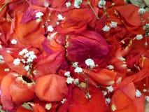 κόκκινος αυξήθηκε πέταλα με τα μικρά άσπρα λουλούδια στοκ φωτογραφία με δικαίωμα ελεύθερης χρήσης