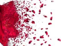 Κόκκινος αυξήθηκε περιγραφή στο άσπρο υπόβαθρο Στοκ φωτογραφία με δικαίωμα ελεύθερης χρήσης