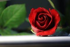 Κόκκινος αυξήθηκε πράσινο φύλλων ρομαντικό ειδύλλιο ανθών αγάπης φρέσκο Στοκ Φωτογραφίες