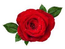 Κόκκινος αυξήθηκε ροζέτα λουλουδιών με τις πτώσεις του νερού και των φύλλων Στοκ φωτογραφίες με δικαίωμα ελεύθερης χρήσης