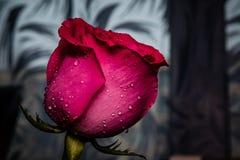 Κόκκινος αυξήθηκε σε έναν δίσκο κρυστάλλου με τα σταγονίδια νερού Λουλούδι της αγάπης στοκ φωτογραφία