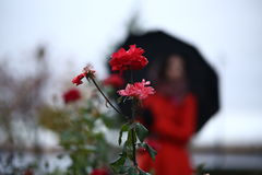 Κόκκινος αυξήθηκε σε μια σκιαγραφία υποβάθρου ενός κοριτσιού με μια ομπρέλα Στοκ εικόνες με δικαίωμα ελεύθερης χρήσης