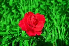 Κόκκινος αυξήθηκε στην πράσινη χλόη Στοκ Εικόνες