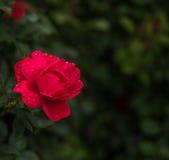 Κόκκινος αυξήθηκε στη βροχή Στοκ εικόνες με δικαίωμα ελεύθερης χρήσης